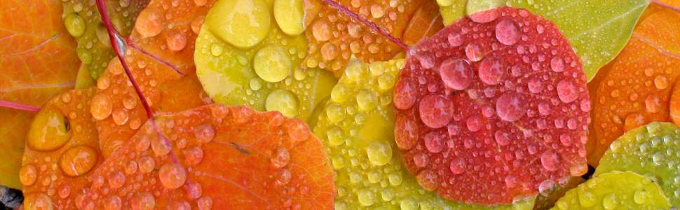 Water droplets on a series of colored autumn leaves